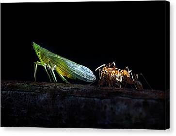 Ants Milking A Planthopper Canvas Print by Melvyn Yeo