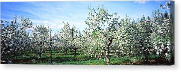 Apple Orchard, Hudson Valley, New York Canvas Print