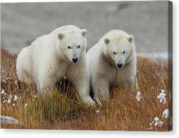 Arctic National Wildlife Refuge (anwr Canvas Print by Hugh Rose