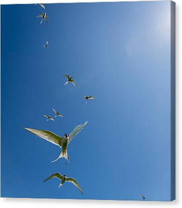 Arctic Terns Sterna Paradisaea, Flatey Canvas Print by Panoramic Images
