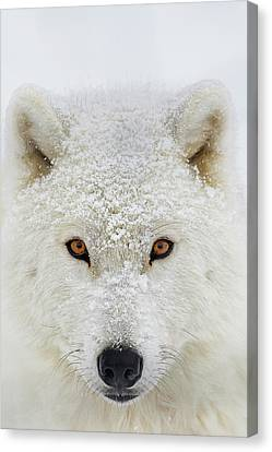 Wolf Pics Canvas Print - Arctic Wolf  Canis Lupus Arctos by Dominic Marcoux