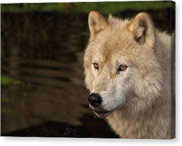 Arctic Wolf Canvas Print by Josef Pittner