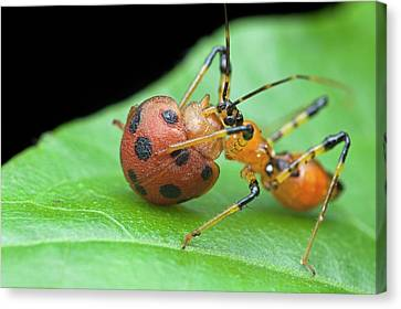 Eating Entomology Canvas Print - Assassin Bug Nymph Eating Ladybird by Melvyn Yeo