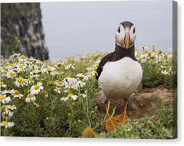 Nuptials Canvas Print - Atlantic Puffin In Breeding Plumage by Sebastian Kennerknecht