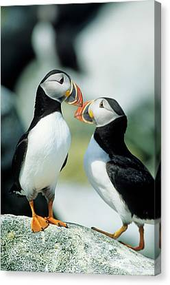 Atlantic Puffins (fratercula Arctica Canvas Print by Richard and Susan Day