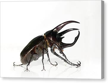 Atlas Beetle Canvas Print by Chris Hellier