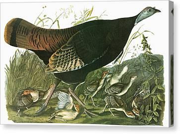 Audubon Turkey Canvas Print