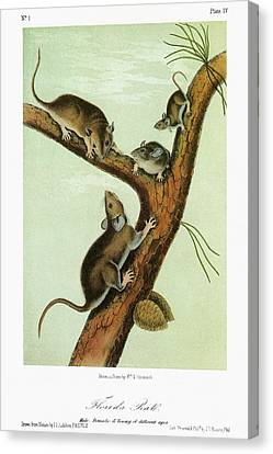 Audubon Woodrat Canvas Print by Granger