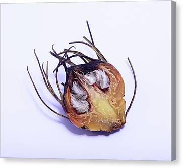 Wildfires Canvas Print - Aulax Cancellata Seed Head by Cordelia Molloy