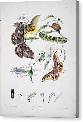 Australian Butterflies Canvas Print by Philip Ralley