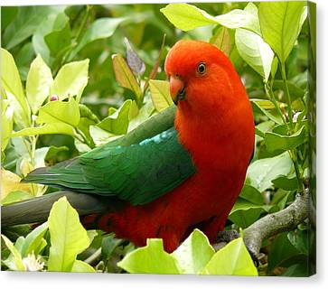 Canvas Print featuring the photograph Australian King Parrot by Margaret Stockdale