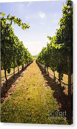 Vine Grapes Canvas Print - Australian Winery Landscape Of Vineyard Grapes by Jorgo Photography - Wall Art Gallery