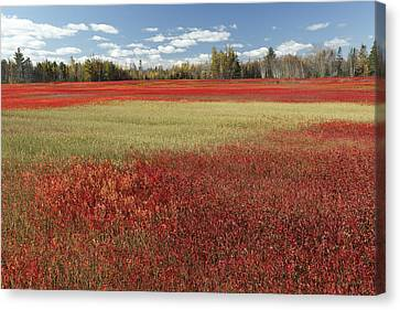 Autumn Blueberry Field Maine Canvas Print by Scott Leslie