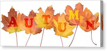 Maple Season Canvas Print - Autumn Leaves by Amanda Elwell