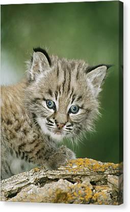 Bobcat Kittens Canvas Print - Baby Bobcat by M. Watson