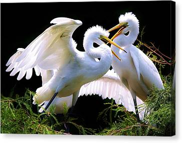 Baby Egrets In The Nest Canvas Print by Paulette Thomas