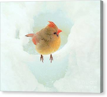 Baby Female Cardinal Canvas Print by Janette Boyd