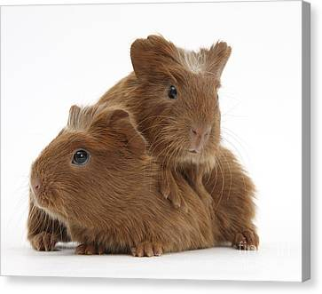 Baby Guinea Pigs Canvas Print by Mark Taylor