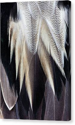 Back Feathers Of The Northern Pintail Canvas Print