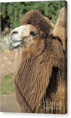 Camel Canvas Print - Bactrian Camel by George Atsametakis