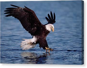 Bald Eagle Fishing Kenai Canvas Print by Yva Momatiuk John Eastcott