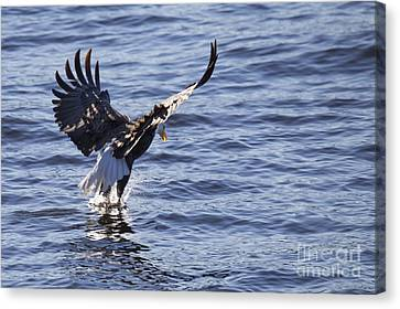 Bald Eagle In Le Claire Iowa Canvas Print by Twenty Two North Photography