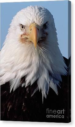 Bald Eagle Portrait Alaska Canvas Print by Yva Momatiuk John Eastcott