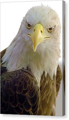 Bald Eagle Canvas Print by Steve Archbold