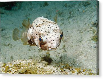 Balloonfish Canvas Print by Andrew J. Martinez