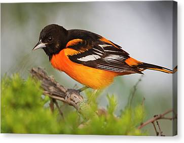 Baltimore Oriole Foraging Canvas Print