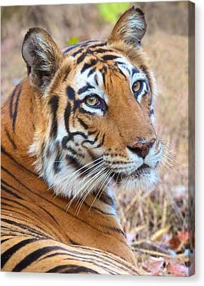 Bandhavgarh Tigeress Canvas Print by David Beebe