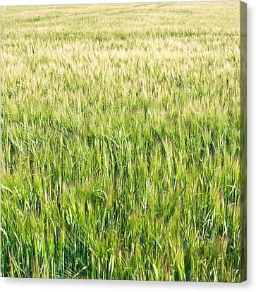 Arable Canvas Print - Barley by Tom Gowanlock