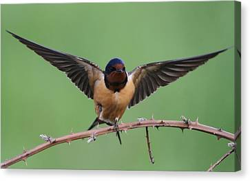 Barn Swallow Canvas Print - Barn Swallow by Angie Vogel
