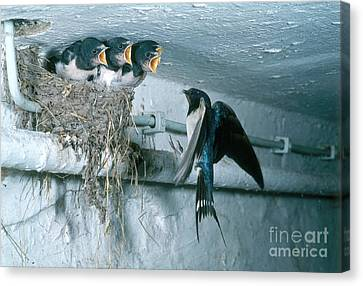 Barn Swallows Canvas Print by Hans Reinhard