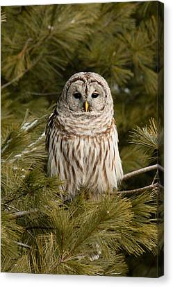 Barred Owl In A Pine Tree. Canvas Print by Michel Soucy