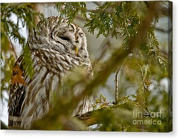 Canvas Print - Barred Owl by Michael Cummings