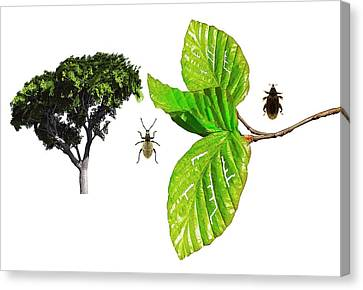 Beech Beetles Canvas Print