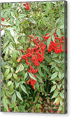 Berry Bush Canvas Print by Kathleen Struckle