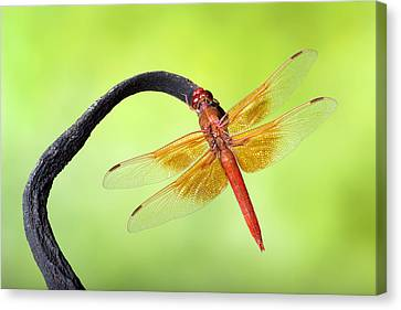 Big Red Skimmer Dragonfly Canvas Print