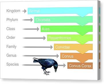 Biological Classification Canvas Print