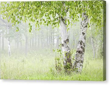 Birch Trees In Fog Thunder Bay Ontario Canvas Print