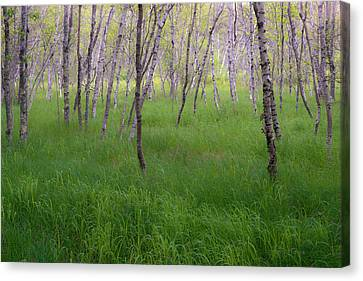 Birch Trees In The Great Meadow, Acadia Canvas Print by Panoramic Images