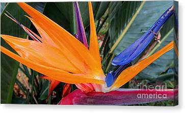 Bird Of Paradise Canvas Print by Kristine Merc