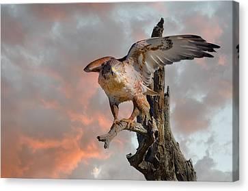Bird Of Prey Canvas Print by Barbara Manis