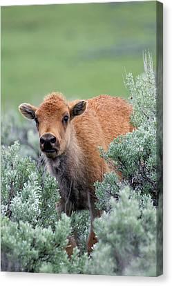 Bison Calf, Yellowstone National Park Canvas Print by Ken Archer