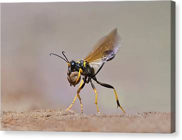 Black-and-yellow Mud Dauber (sceliphron Canvas Print