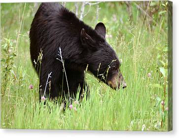 556p Black Bear Canvas Print by NightVisions