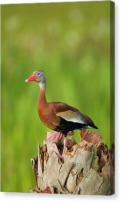 Black-bellied Whistling Duck On Cabbage Canvas Print by Maresa Pryor