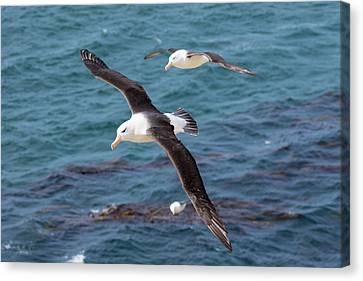Black-browed Albatross (thalassarche Canvas Print