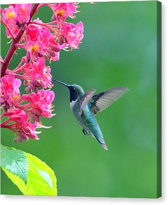 Black Chinned Hummingbird Canvas Print by Aron Chervin
